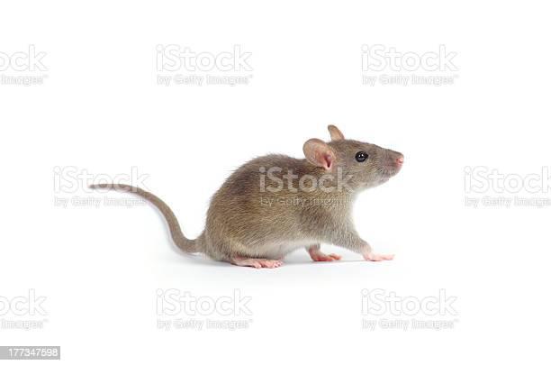 Rat picture id177347598?b=1&k=6&m=177347598&s=612x612&h=iwdpnkqgp9mlz57y3oiutggfej2rvtjhoukimnpsmzo=