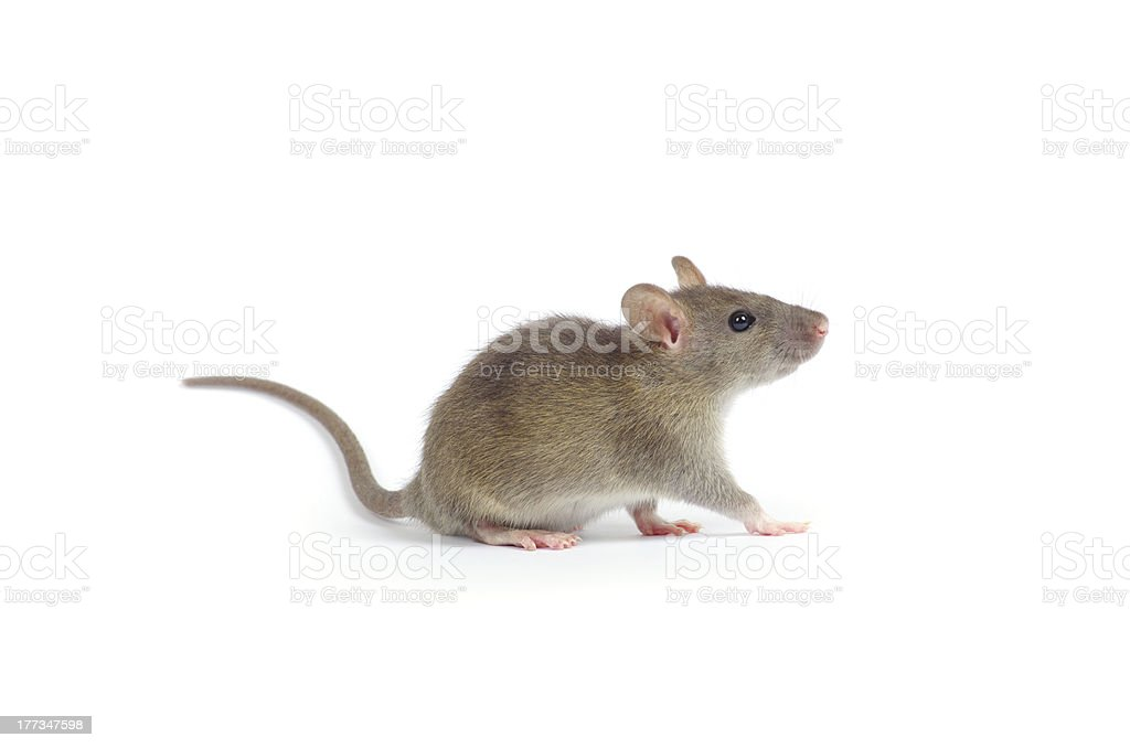 rat stock photo