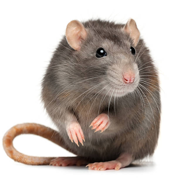 royalty free rat pictures images and stock photos istock