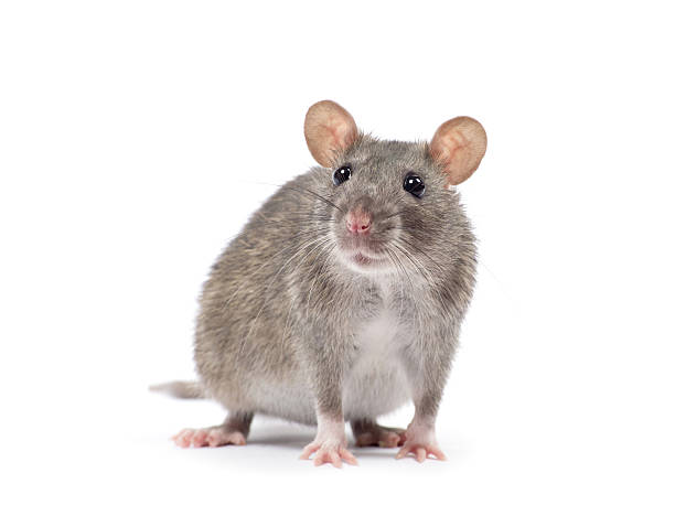 쥐 스톡 사진