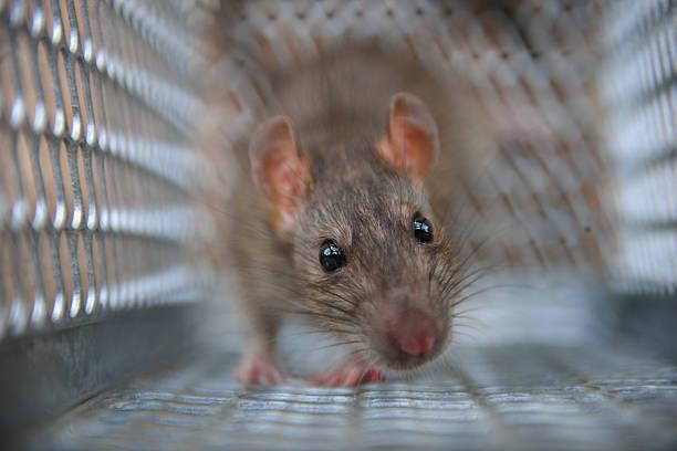 Best Ugly Rat S...