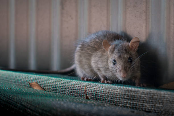 Rat A rat surprised to see a human so close. rodent stock pictures, royalty-free photos & images