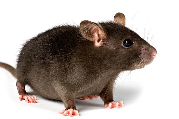 royalty free fat rat pictures images and stock photos istock