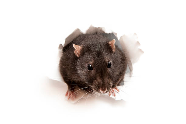 Rat Little rat in the paper hole pest stock pictures, royalty-free photos & images