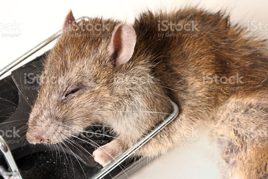 Rat royalty-free stock photo
