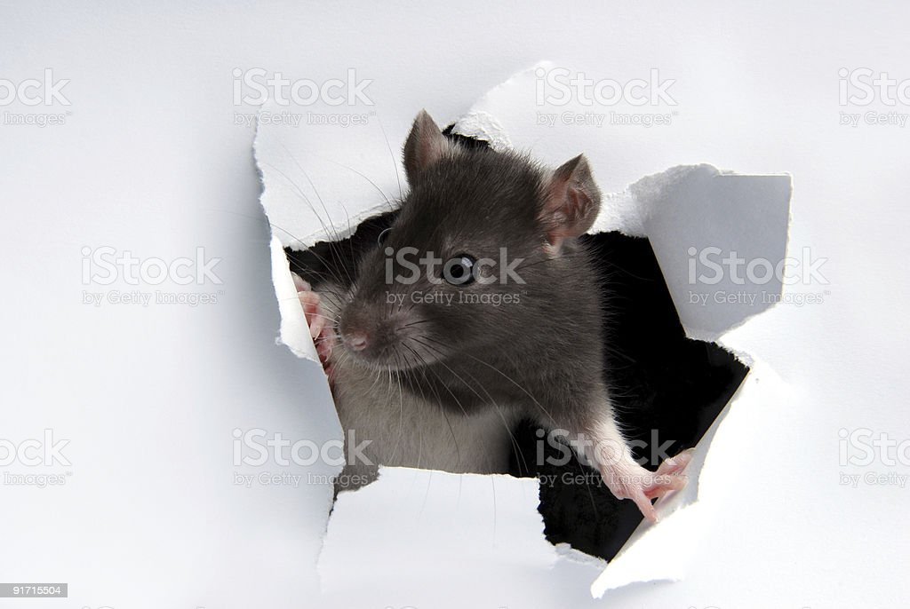 A rat poking its head through the wall stock photo
