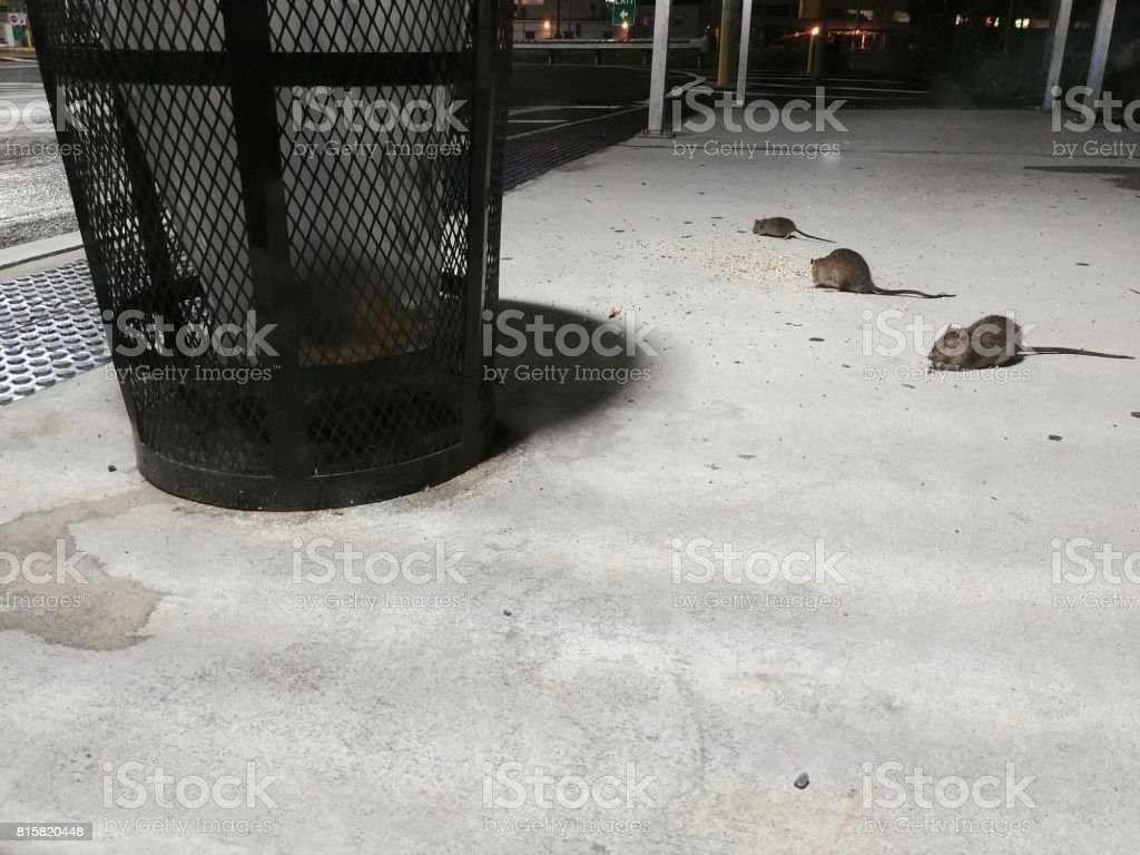 NYC Rat Rodents Eating Off Ground Near Trash Can stock photo