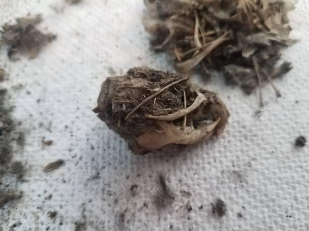 Rat skull and pile of black hair from owl pellet on paper towel picture id1168781922?b=1&k=6&m=1168781922&s=612x612&w=0&h=d la8kmr1otqjfbo8ryy2d oc629w7h3gsnlml1gyrk=