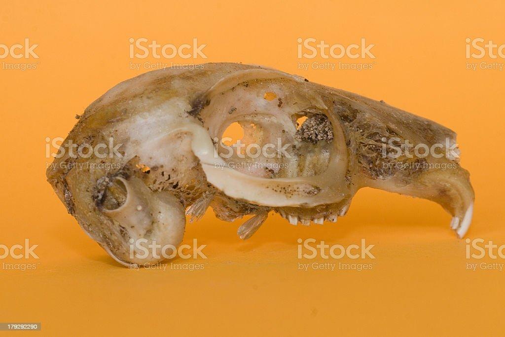 Fotografía de Rata Cráneo Sobre Naranja y más banco de imágenes de ...