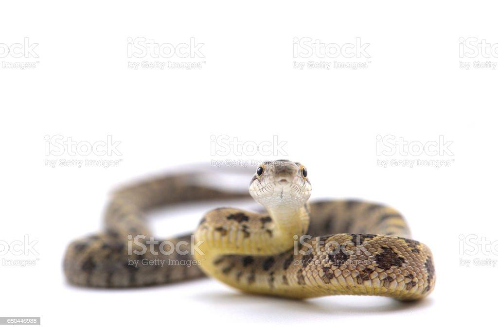rat snake isolated on white background stock photo