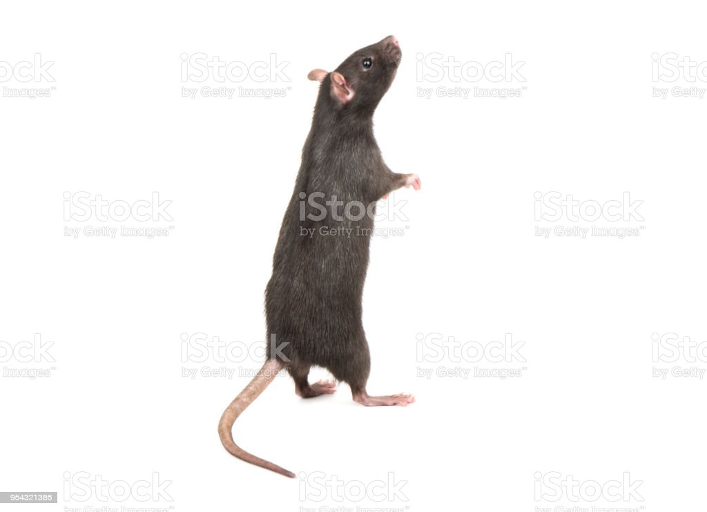 Rat stands on hind legs stock photo
