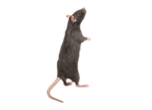 Rat se dresse sur les pattes arrières - Photo