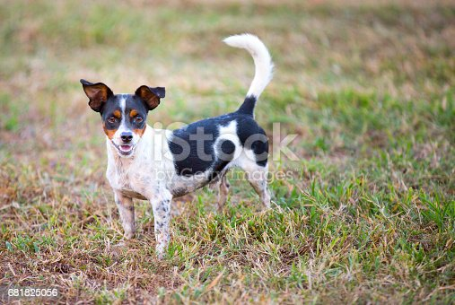 A rat terrier mix small dog is outside standing on grassy ground while looking at the camera with his tail up. Shot with Canon 5D Mark lll.