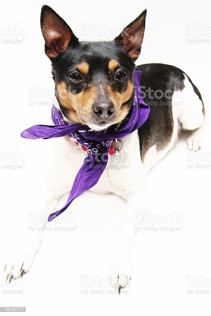 Rat Terrier royalty-free stock photo