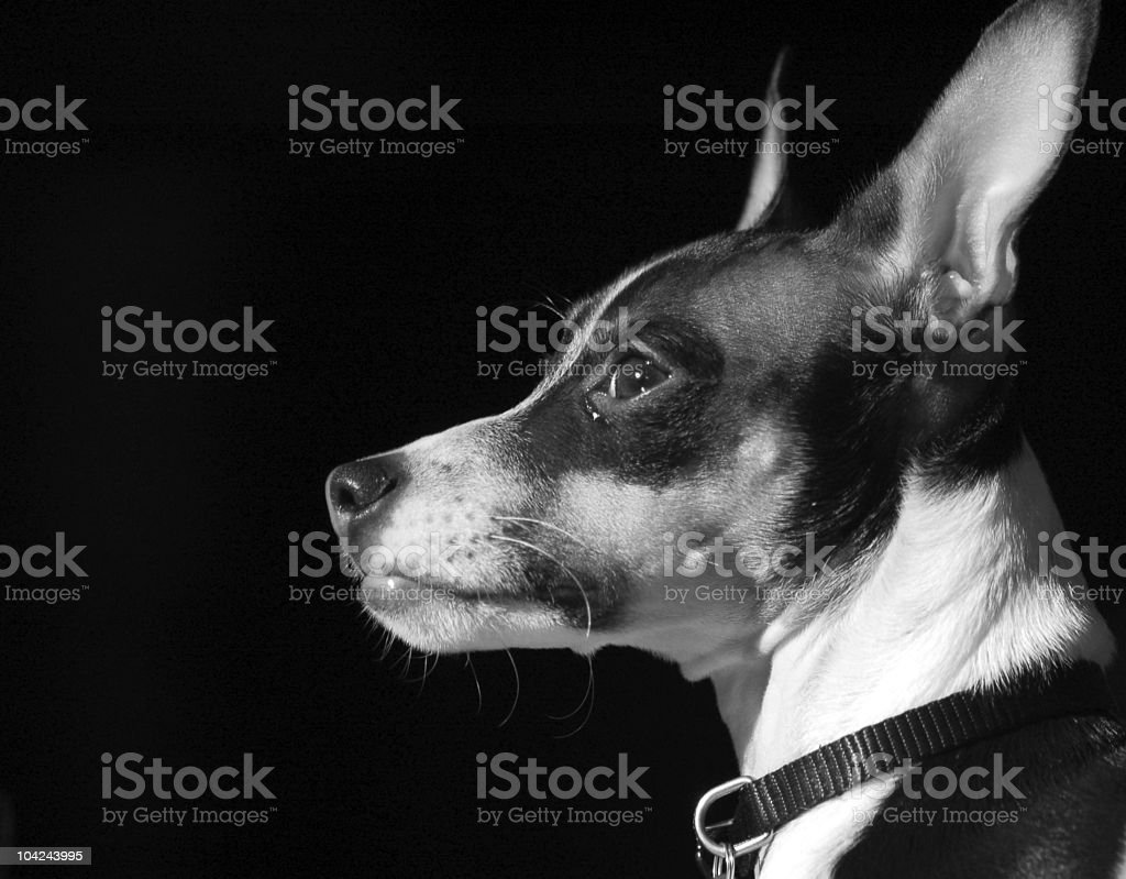 Rat Terrier Puppy stock photo