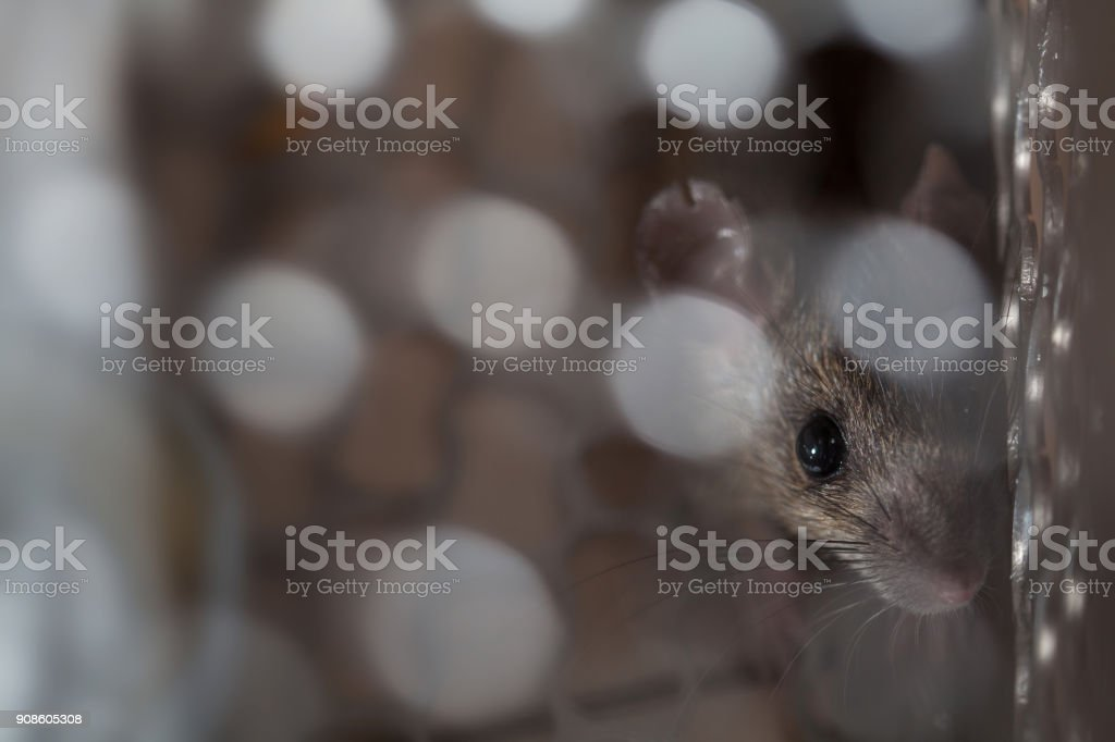 Rat trapped in a cage mouse trap inside at home. stock photo