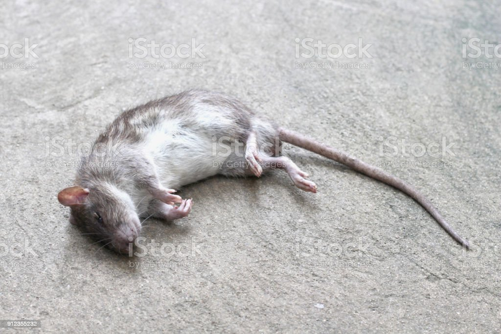 rat was crushed remains of the dead. stock photo