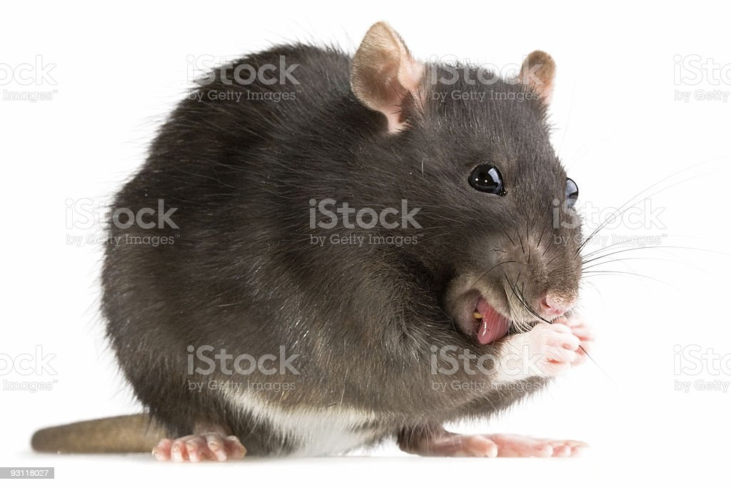 rat washing royalty-free stock photo