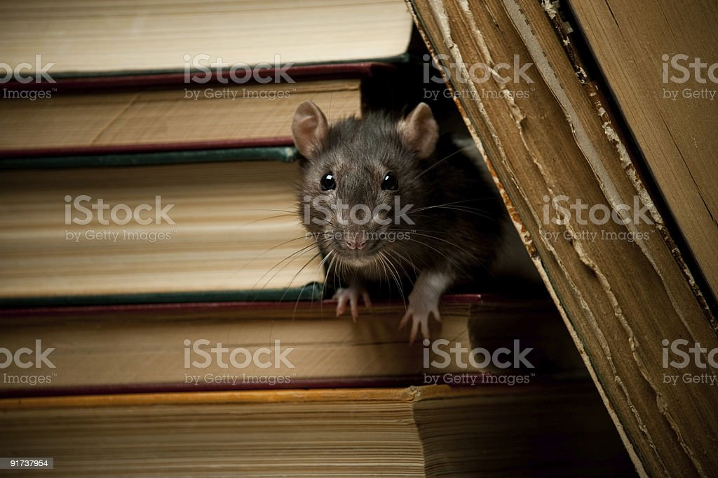 Rat with book stock photo