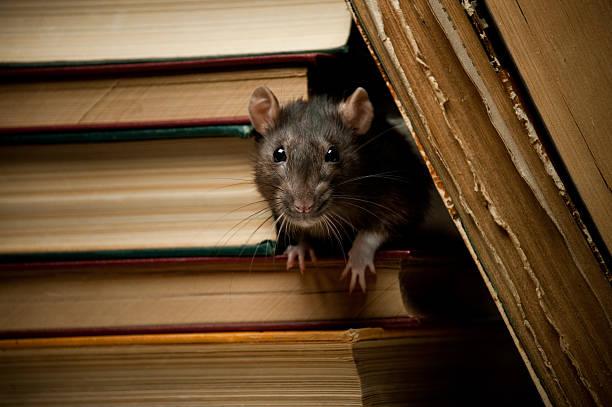 Rat avec livre - Photo