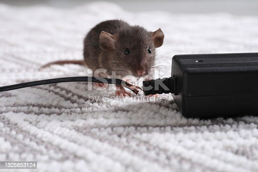 istock Rat with chewed electric wire on floor indoors. Pest control 1325853124