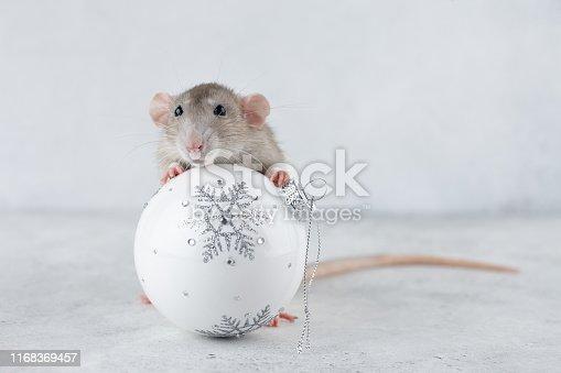 istock Rat with Christmas glass ball decoration 1168369457