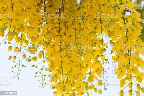Ratchaphruek flower picture id1143408043?b=1&k=6&m=1143408043&s=612x612&h=145 bjuabckdq0v6ytjzue5 aqi6c hnf7rfuc tm98=