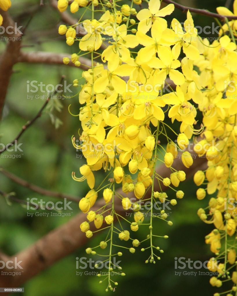 Ratchapruek Thailands Yellow Blooming Trees Stock Photo More