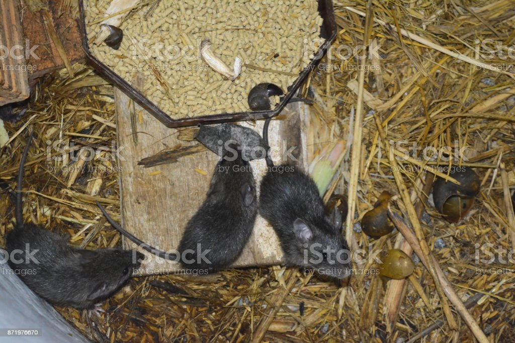 rats and food in cement tube at farm,the new business in Thailand stock photo
