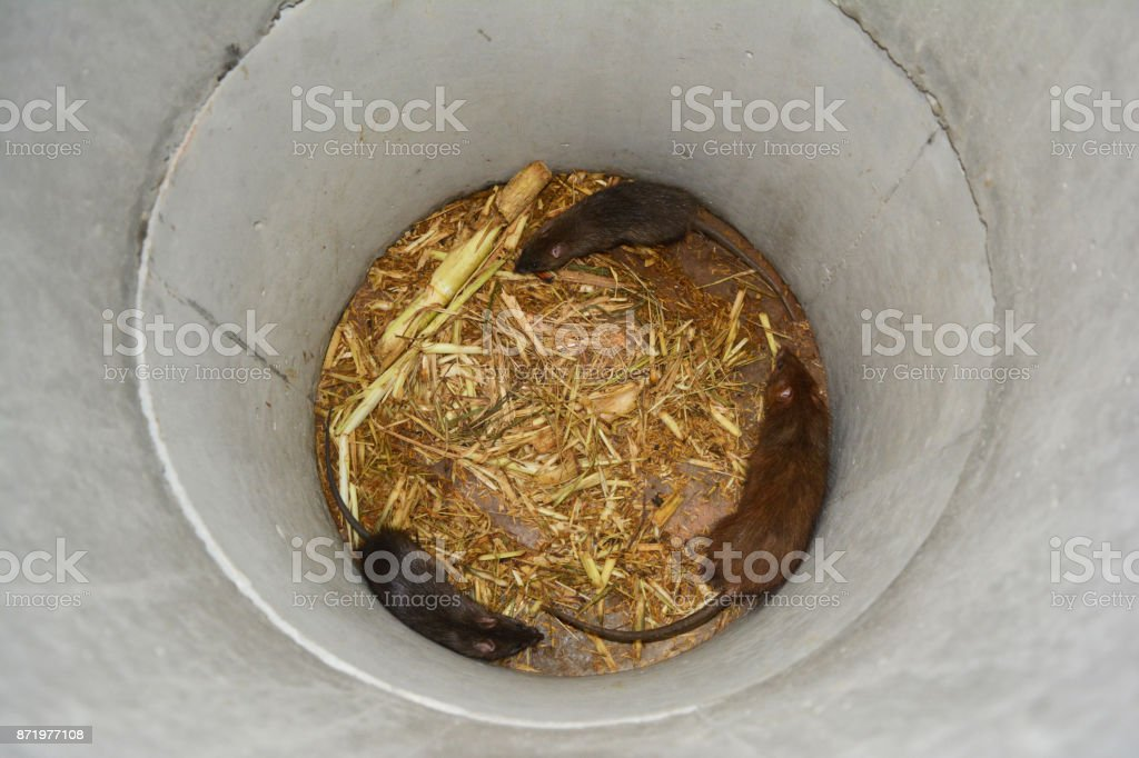 3 rats and food in cement tube at farm,the new business in Thailand stock photo
