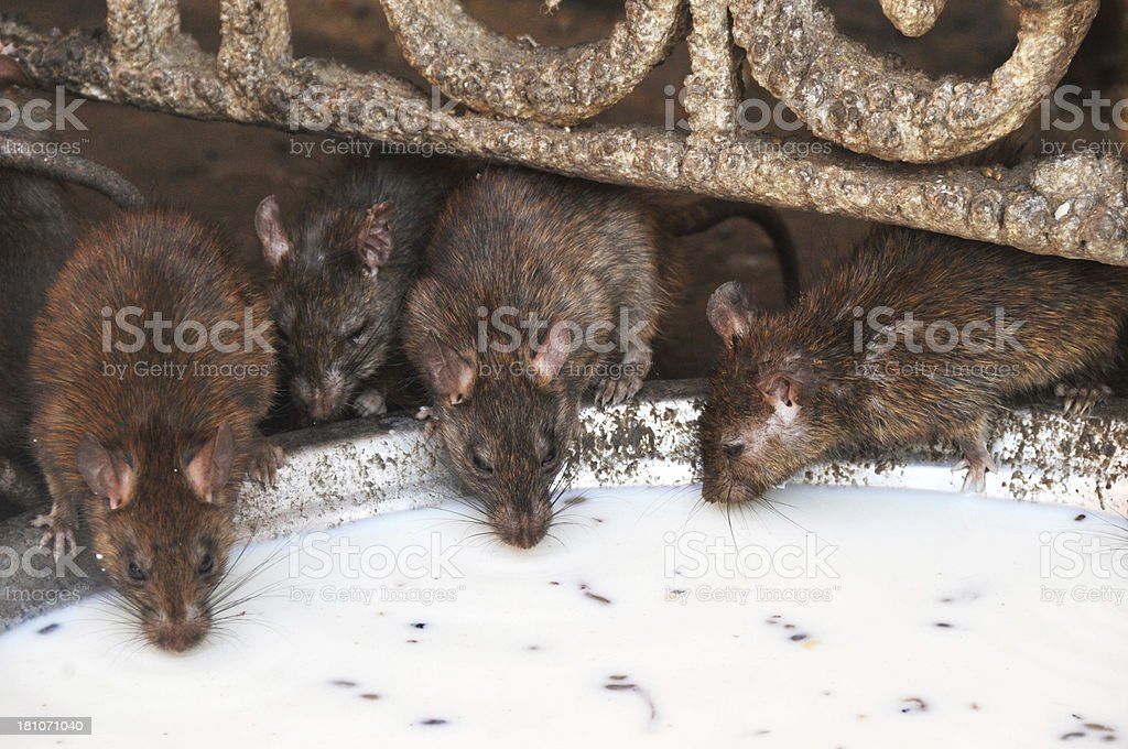 Rats Drinking Milk royalty-free stock photo