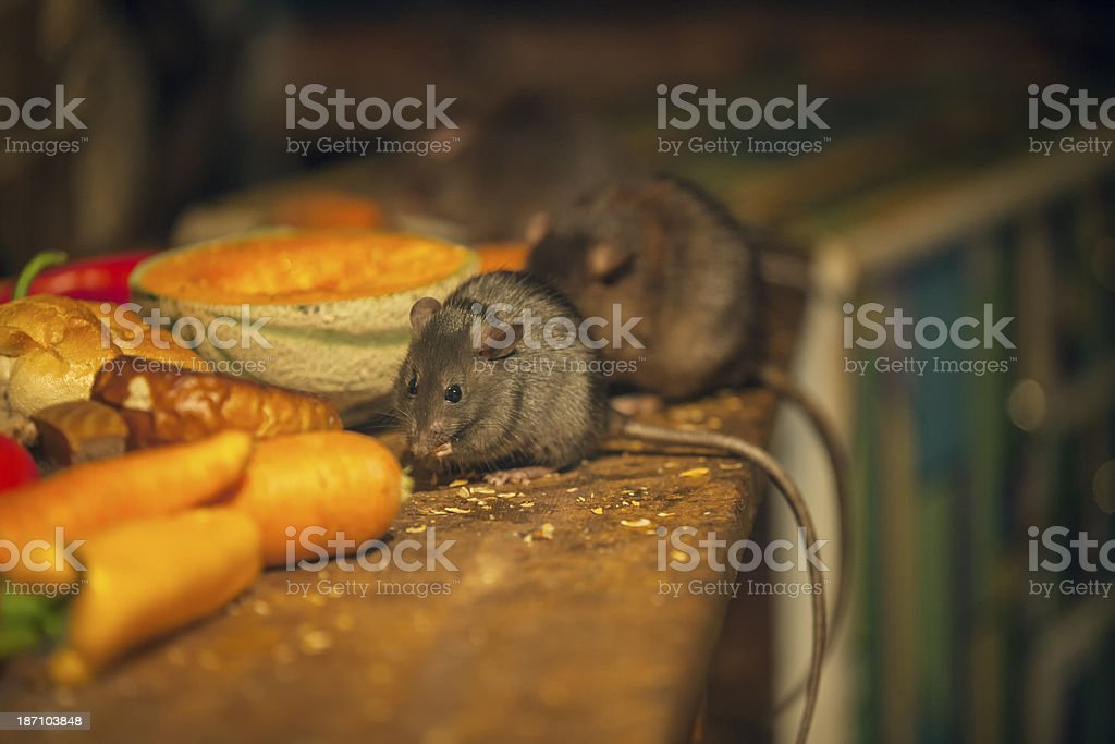 Rats eating in messy kitchen stock photo