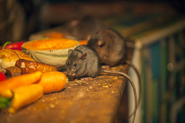 Rats eating in messy kitchen need a mousetrap ? pest stock pictures, royalty-free photos & images