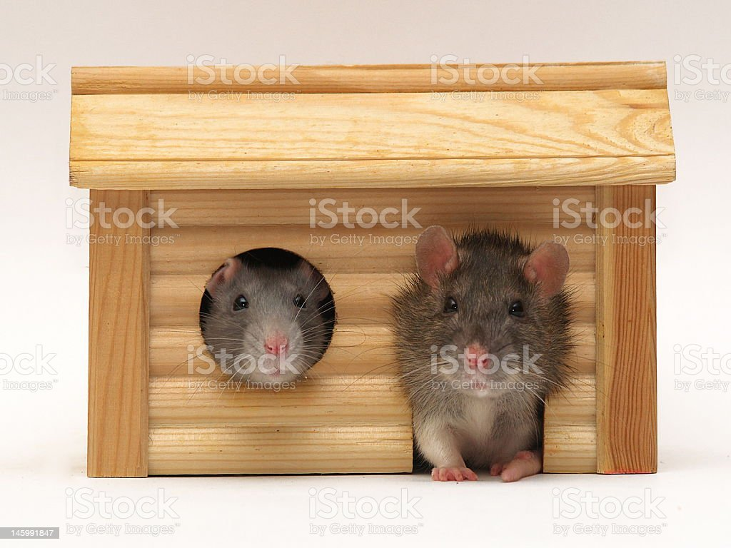 Incredible Rats In House Stock Photo Download Image Now Istock Interior Design Ideas Oteneahmetsinanyavuzinfo