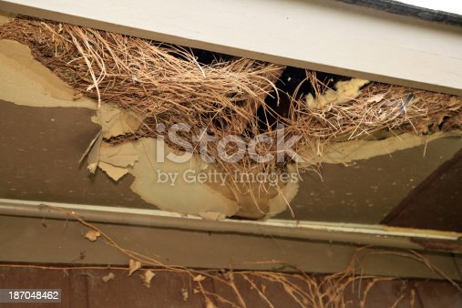 In the process of tearing down the roof of a house a nest made of pine straw is found where rats have been nesting.