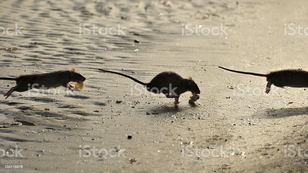 Rats royalty-free stock photo