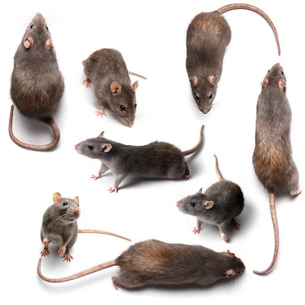 rats - Photo