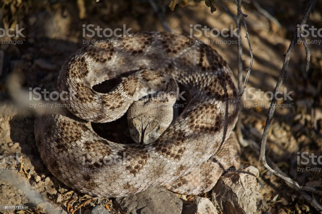 Rattle Snake ready to strike on summer day, forked tongue out, head down stock photo