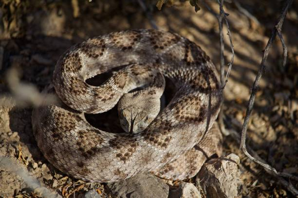 rattle snake ready to strike on summer day, forked tongue out, head down - snake strike stock photos and pictures