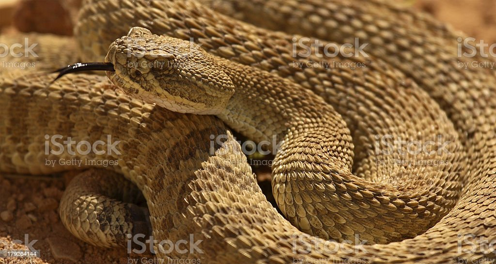 Rattlesnake Flicking Out Tongue royalty-free stock photo