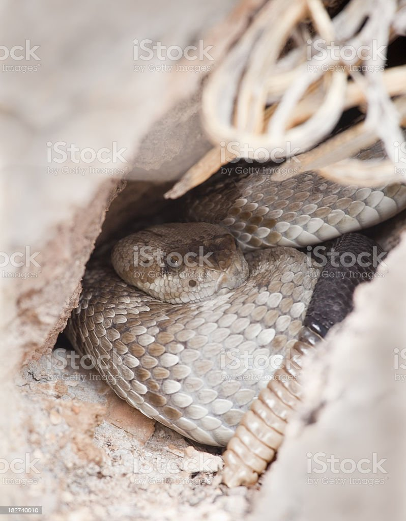 Rattlesnake in Cave at Big Bend National Park stock photo