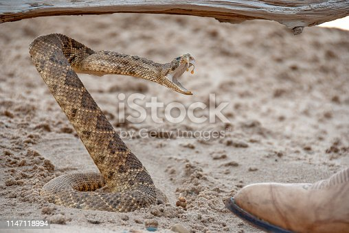 coiled angry rattlesnake in sand by toe of leather boot