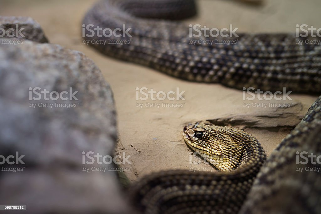 rattlesnake in wildlife stock photo