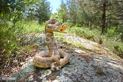 rattlesnake on a rock