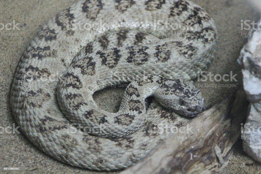 Rattlesnake Portrait Shots stock photo
