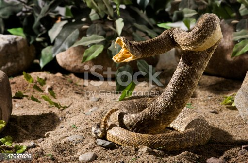 A Rattlesnake striking.