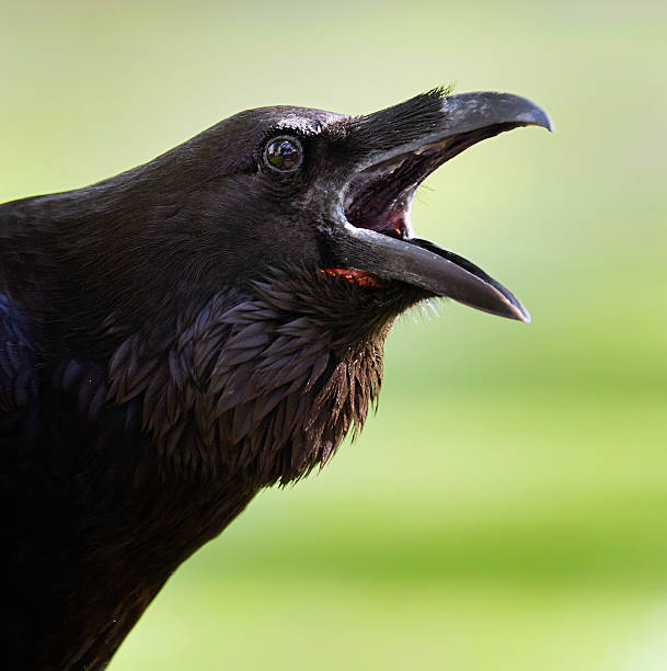 raven at the tower - croak stock pictures, royalty-free photos & images