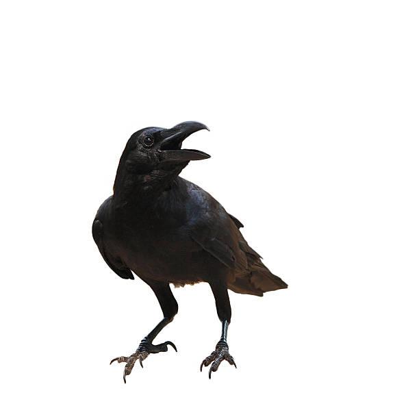 raven bird isolate on white background - neerstrijken stockfoto's en -beelden