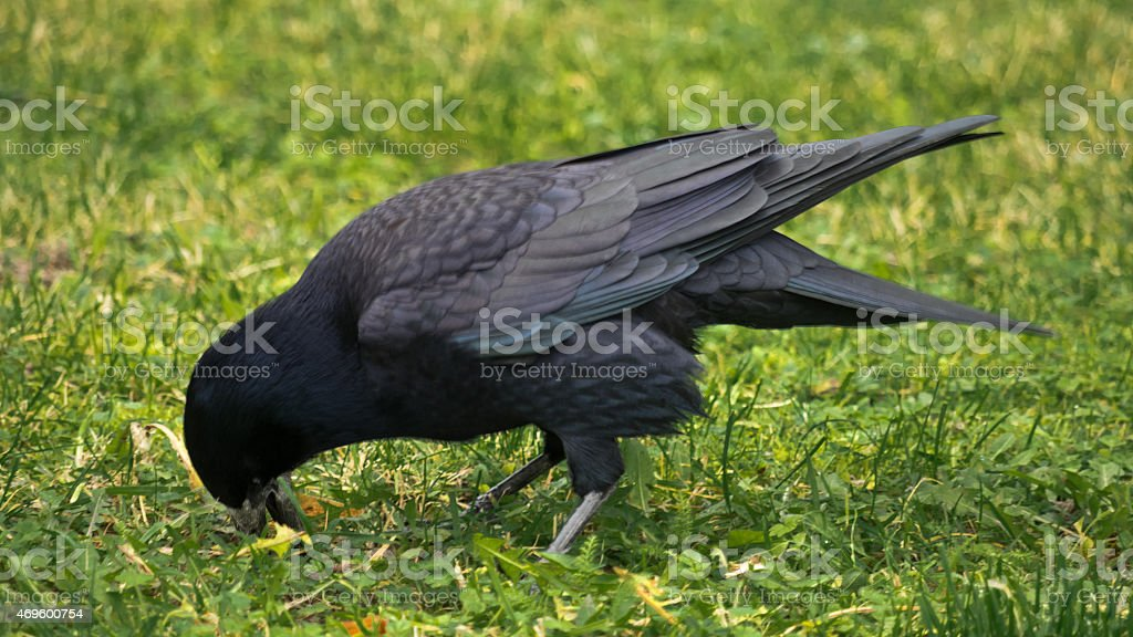 Raven biting in the grass stock photo