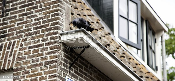 Black raven in urban street, birds